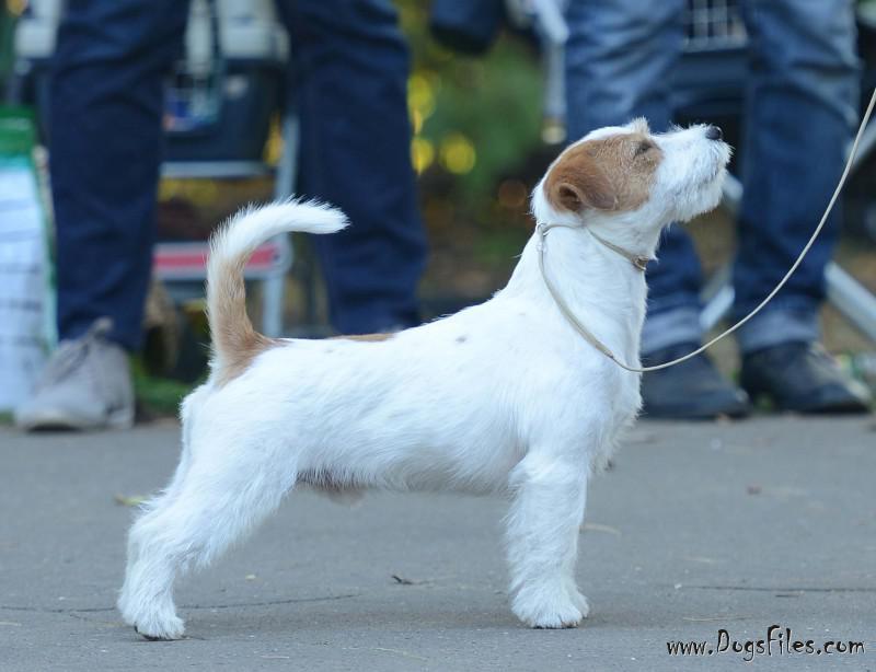 Pedigree database Jack Russell Terrier
