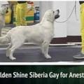 GOLDEN SHINE SIBERIA GUY FOR ANESTIK'S