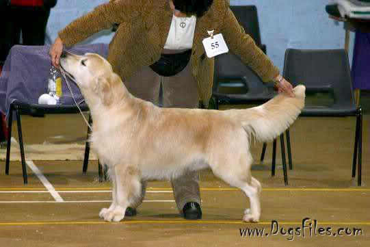 shardanell golden retrievers