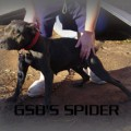 GOLDEN STATE BULLDOG'S SPIDER