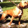 GR CH SOUTHERN KENNEL'S MAYDAY ROM