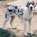 PERLANE DOG-LOME