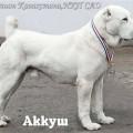 AKKUSH