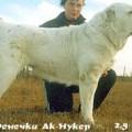 AK NUKKER FENECHKA