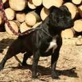 HUMAN DOGS LENNOX LEWIS