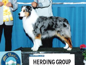 Blueprint moon dancer pedigree database australian shepherd pedigree database australian shepherd blueprint moon dancer malvernweather Images