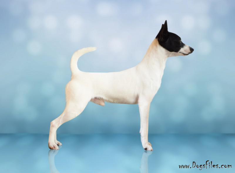 Pedigree database American Toy Fox Terrier