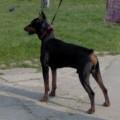 DOG STAR GALANT
