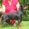 DRYM PINSCHER KING BLACK