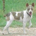 LONE OAK'S PLATINUM PRINCES - RAT TERRIER
