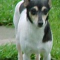 HANNAH'S SHINEY PENNY - RAT TERRIER