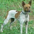 FLINTHILL'S RAD SATIN  LACE - RAT TERRIER
