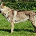 GREY WOLF Z MOLU ES