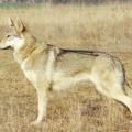 AKIRA SPIRIT OF THE WOLF