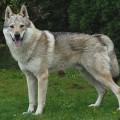 ARGOS SPIRIT OF THE WOLF