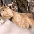 LUPINA --CANADIAN WOLF CANIS LUPUS OCCIDENTALIS--