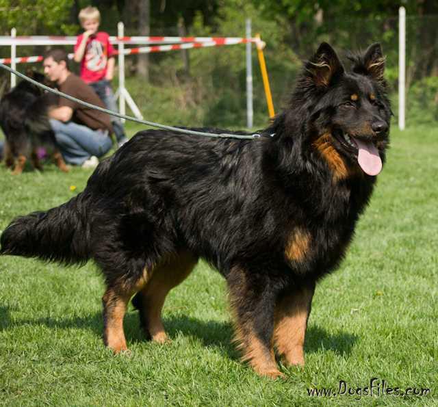 http://www.dogsfiles.com/mkportal/modules/dogsbase/albums/354/97947/foto60329.jpg