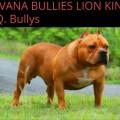 HAVANA BULLIES LION KING H.Q. BULLYS