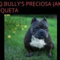 H.Q.BULLY'S PRECIOSA AKA COQUETA