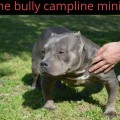 THE BULLY CAMPLINE MINIE