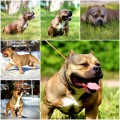 BAIN BULLY'S FRENK FOR GRAND KENNEL