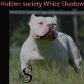 HIDDEN SOCIETY WHITE SHADOW