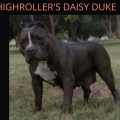 HIGHROLLER'S DAISY DUKE