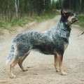 WINDWARRIOR'S AFLAMING BLUE STAR