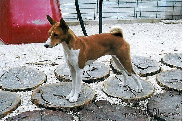 Pedigree database Basenji