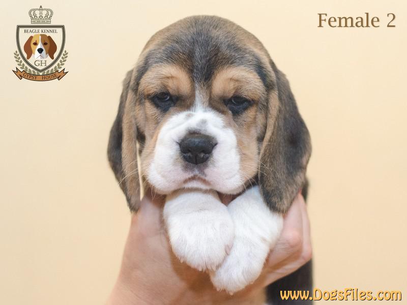 Pedigree Database Beagle