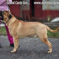GRAND CANIS GOR